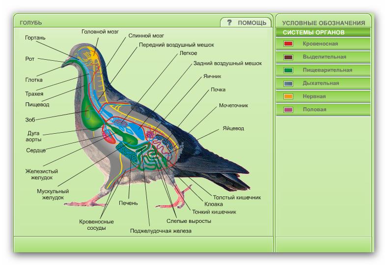 анатомия птиц картинки чтоб горизонтальные осевые