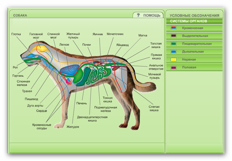 системы органов собаки