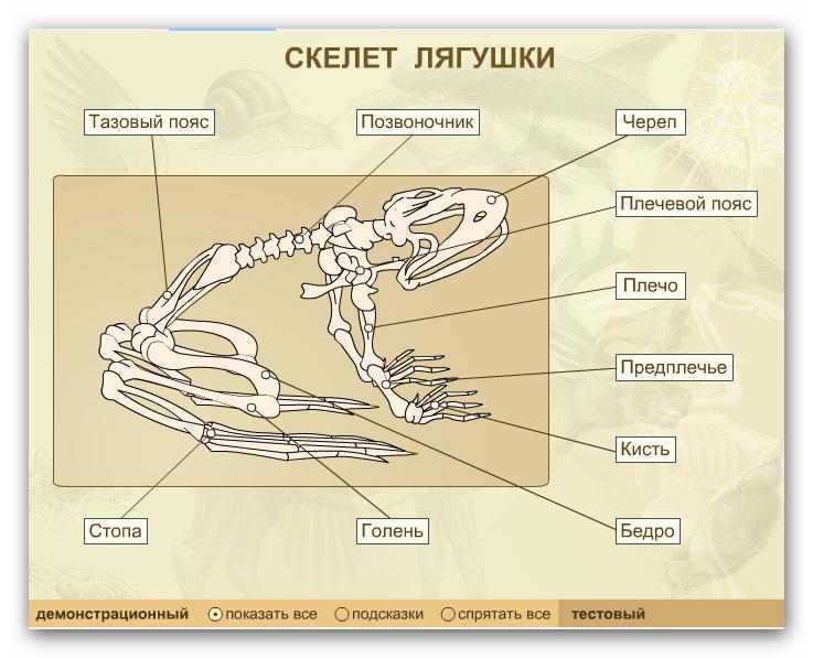 строение лягушки картинки скелет удел так называемых
